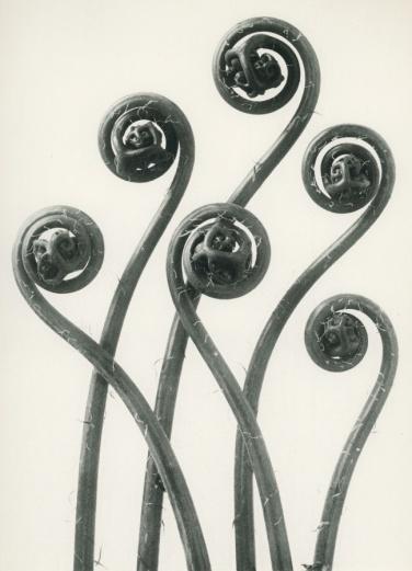 Blossfeldt adiantum-pedatum
